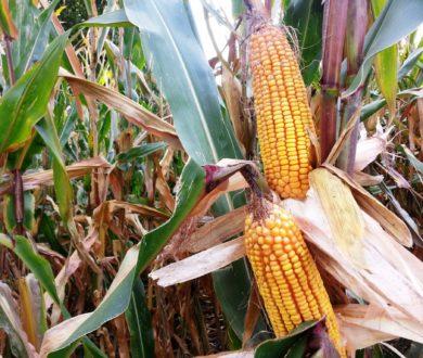 Cambio di passo con il precision farming per Combi Mais 5.0