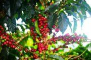 Dalla Colombia San Cayetano, caffè speciale certificato