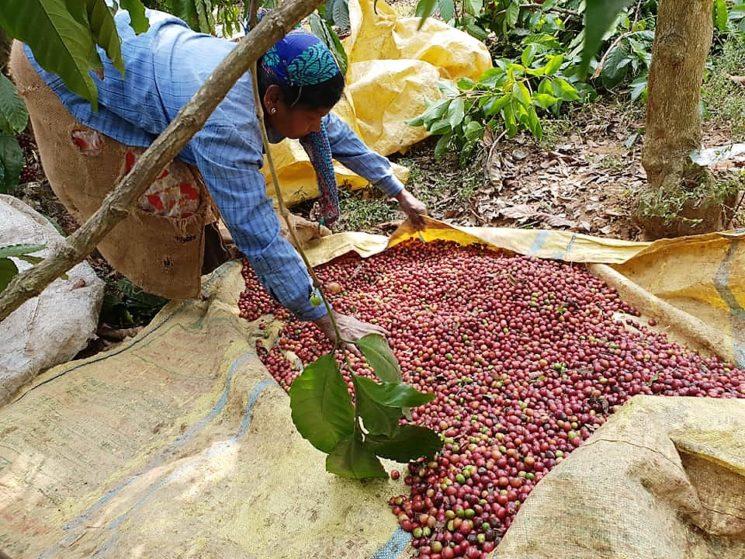 Con CSC nell'India del caffè