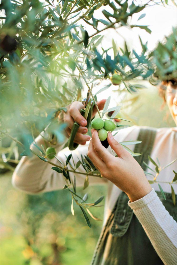 Olio: venerdì 24/9 arriva l'olio nuovo con via raccolta prime olive