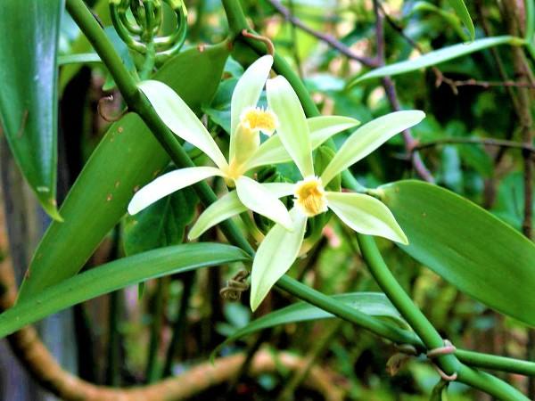 Le Seychelles celebrano la vaniglia